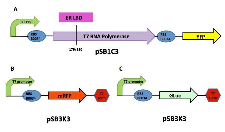 Figure 1. Diagram of (A) Sensor plasmid (B) RFP reporter plasmid and (C) Gaussia luciferase reporter plasmid.