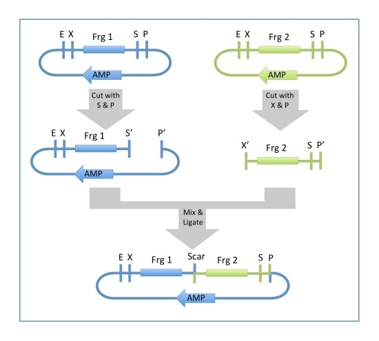 Fig. 1 Assembling method with RFC[10] standard. Fragment 1 is digested using SpeI et PstI while fragment 2 is digested using XbaI and PstI. During the ligation, fragment 2 is inserted after fragment 1 thanks to the matching DNA extremities left by the enzyme couple SpeI/XbaI.
