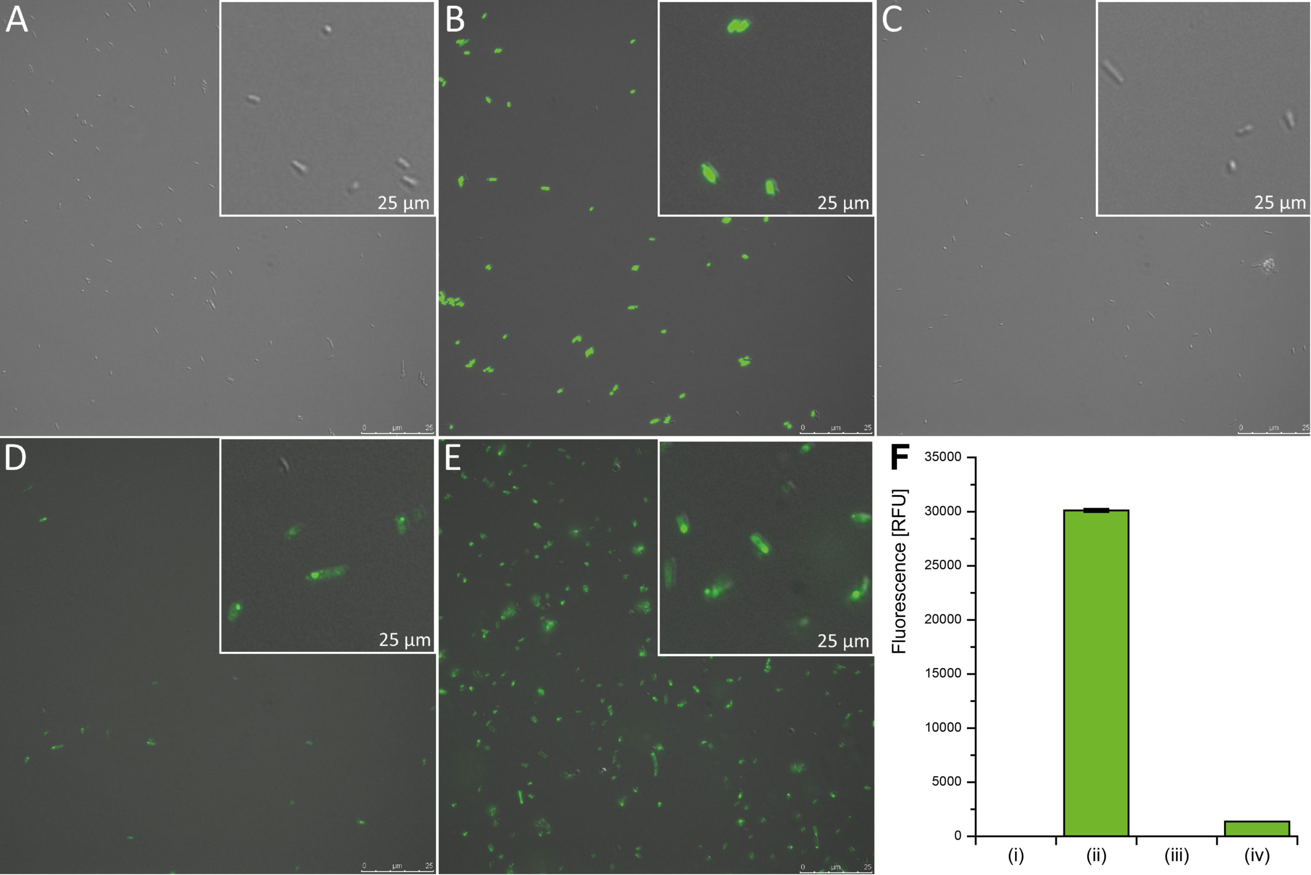 Fig. 4 Carboxysome characterized by fluorescence of integrated fusion proteins. (A) Fluorescence microscopy picture of E. coli wild type (negative control), (B) E. coli with constitutive gfp expression (positive control) and (C) expression of pSB1A2-T7:csoS4AB-csoS1C-csoS1A::gfp-csoS1B (BBa_K1465222). (D) and (E) High resolution microscopy images of E. coli carrying BBa_K1465223 (encoding a carboxysome with GFP tag on a shell protein). (F) Results of photometric fluorescence measurements of E. coli wild type (i, negative control), E. coli with constitutive gfp expression (ii), E. coli with BBa_K1465222 (iii, no csoS2) and E. coli with BBa_K1465223 (iv, encoding a carboxysome with GFP tag on a shell protein).